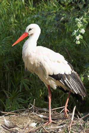 white stork standing on the nest  Stock Photo