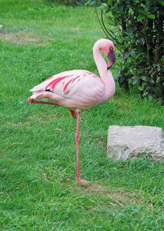 flamingo standing on one leg Stock Photo