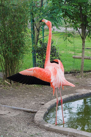 flamingo with open wings