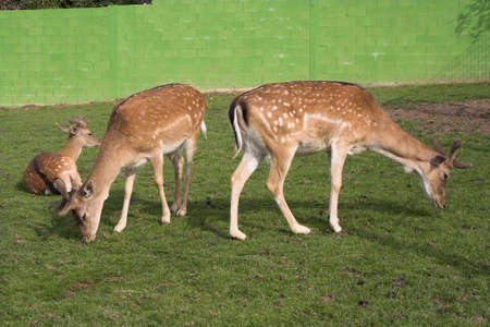 deers grazing at the zoo