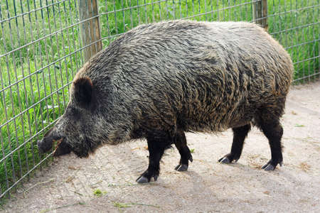 wild boar in the zoo