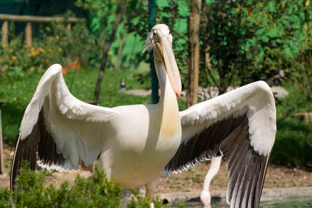 wildlive: pelican with open wings Stock Photo