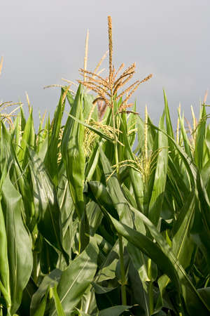 stalks of maize in the field Stock Photo - 2106334