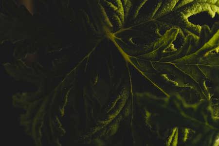 Macro close up portrait of Citronella plant leave, studio lighting, selective focus
