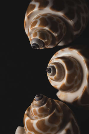 Babylon Snail shell Macro close up, selective focus Stock Photo