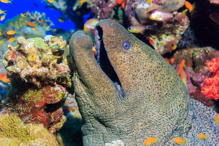 red sea: Moray. Fishes of the red sea.