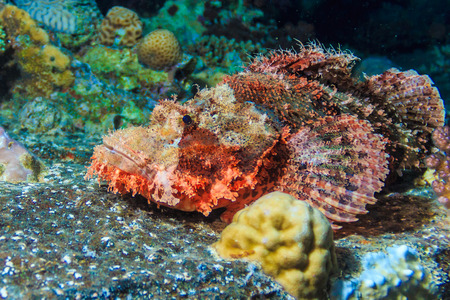 red sea: Scorpena. Fishes of the red sea. Stock Photo