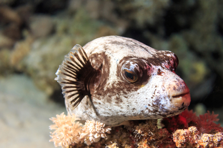 The masked pufferfish on coral. Fish of the red sea.