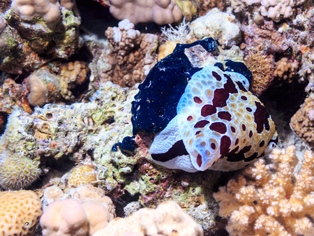 Clam Spanish dancer. The fauna of the red sea. Underwater photography.