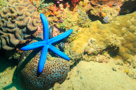 Blue sea star on coral. The Island Of Mindoro. Philippines.