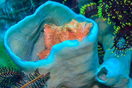 scorpionfish: Little Scorpaena in the coral Cup. The Island Of Mindoro. Philippines.
