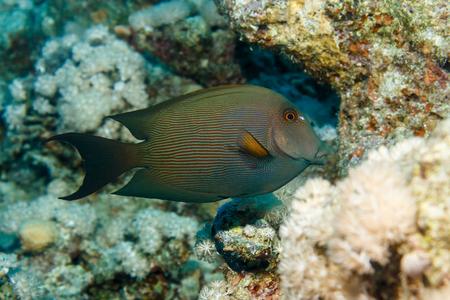 Straited surgeonfish. The red sea. Egypt.