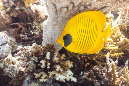 Butterfly fish under a coral umbrella.