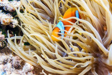 Actinia and Red Sea anemonefish Stock Photo
