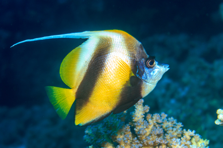 Red Sea bannerfish Stock Photo