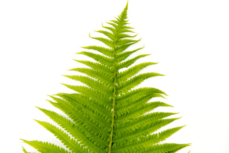 Fern polypody adders tongue plant on white background
