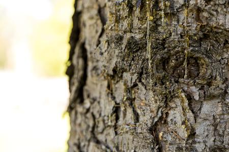 Drops of resin on pine tree bark