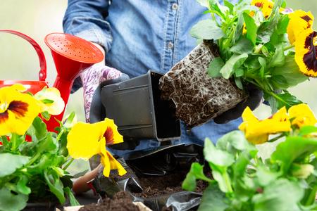 Tuinmanvrouw die viooltjeplant uit plastic pot haalt om het in de tuin te planten. Lente viooltje bloem planten in de tuin. Tuinieren concept Stockfoto