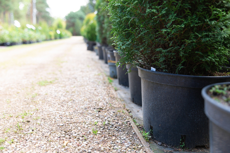 Row of coniferous trees in tree plant garden nursery. Thuja trees at plant nursery