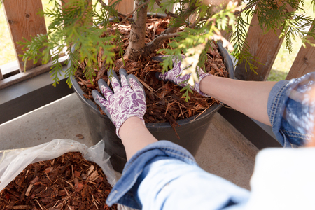 Woman gardener mulching potter thuja tree with pine tree bark mulch. Urban gardening