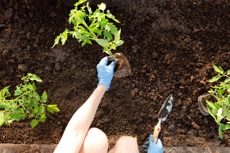 Le mani della donna che piantano le piantine di pomodoro in serra. Il giardinaggio biologico e il concetto di crescita Archivio Fotografico