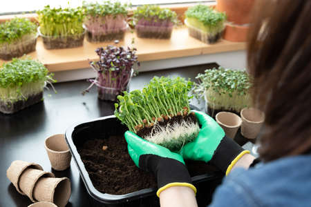 Plant seeds for superfood - women holding in hands peas with green sprouts in front of soil. Hobbies and healthy eating concept. Gardening at home. Banque d'images