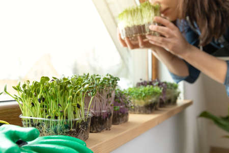 Women savour fresh grown microgreens on a sill near sunny window. Home grown healhy superfood microgreens.