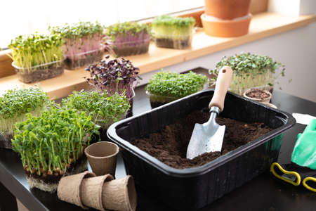 At home gardening concept ashowel seeds in soil on a table with different microgreens. Hobbies at home.