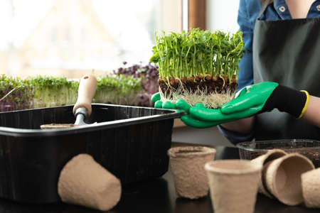 Woman holding microgreens with roots and soil in her hands near gardening tools and different sprouts. Gardening hobbies at home concept.
