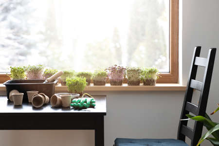 Growing seeds and raw food. An empty chair by window sill full with different microgreens and table with gardening tools and soil. Gardening at home.