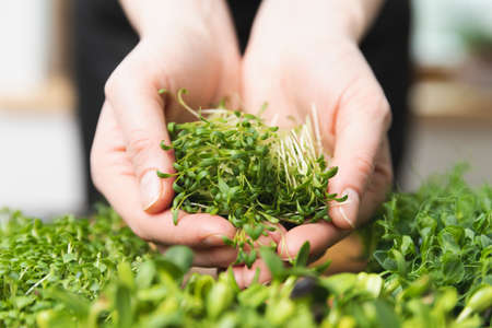 Women holding in hands microgreens cutted sprouts. Healthy superfood eating concept.