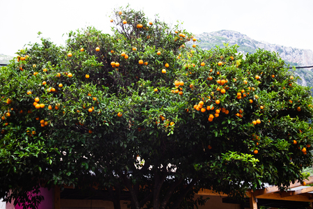 Beautiful orange tall leafy tree with blue sky. Greek natural food. Citrus Fruit-bearing. Country lifestyle. Typical plants Corfu Greece. Fruits growing 写真素材