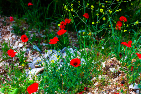 Red ponceau flowers in the green field. Nature flowers image concept in the field. Red flowers with green grass Imagens