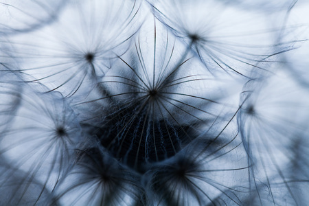 Closeup image of white dandelion. Dandelion seeds in macro photo. Nature photography concept