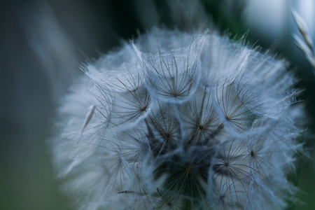Close up abstract dandelion seeds bouquet background. Blowing away scenery
