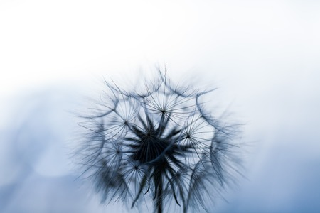 Abstract dandelion seeds over clear background. Blowing in blank scenery