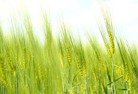 Organic Green spring grains for background photo