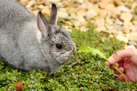 fattening: my pet little rabbit fattening hand-to-mouth Stock Photo