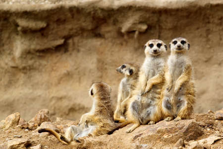 suricatta: Family looking for visitors in ZOO