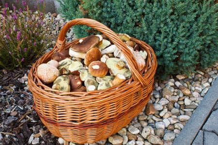mushrooming: Full basket of fresh autumn mushroom Stock Photo