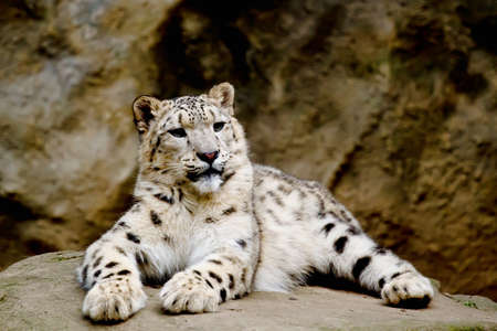 Snow Leopard Irbis (Panthera uncia) leopard looking ahead in zoo photo