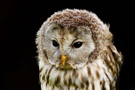 Nice portrait Ural Owl, Strix uralensis, a nightbird  Stock Photo - 7958446