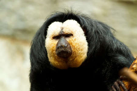 saki: Pithecia pithecia, also known as Golden-face saki monkey in zoo