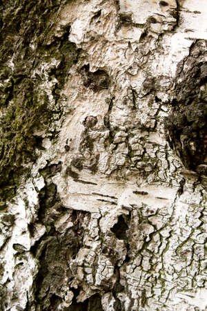 detach: Birch bark texture for background or pattern use Stock Photo