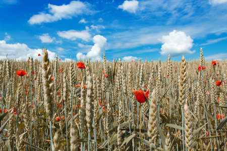 golden wheat with red poppy in the blue sky background  photo