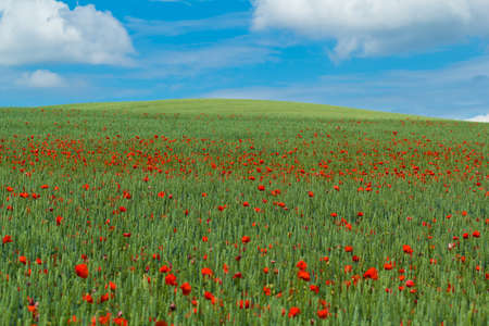 landscape with green wheat with red poppy and blue sky photo
