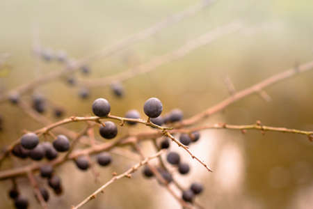 Autumn background with blackthorn with very shallow focus  photo
