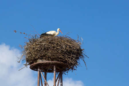 a mother white stork Ciconia ciconi bird on a chimney  photo