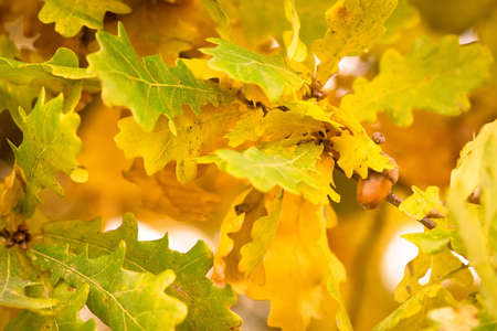 Gold autumn colors of oak leaves with acorn Stock Photo - 12343136