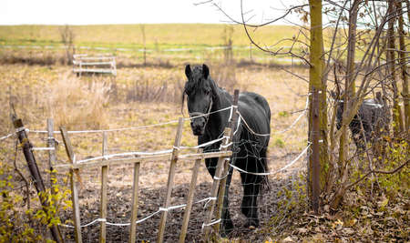 lame: Skinny Horse outside in fenced yard area with ribs showing Stock Photo